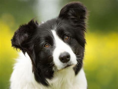 personality traits  border collie  german shepherd