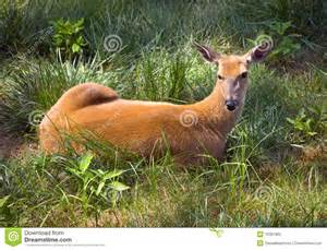 outdoor wildlife white deer laying in field stock photography image 10381902