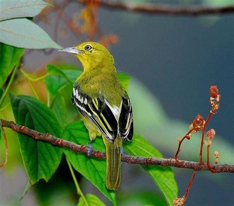 Suara burung flamboyan jantan dan betina gacor full isian di alam liar pikat anakan mp3. Inilah Perbedaan Burung Sirtu Jantan Dan Betina Yang Harus Anda Tahu | Burung, Betina, Tahu