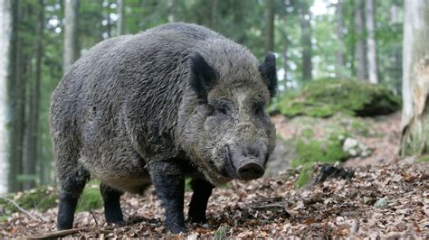 'out Of Control' Wild Boar To Be Culled In The Uk As
