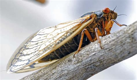 cicadas to take east coast by storm after 17 years