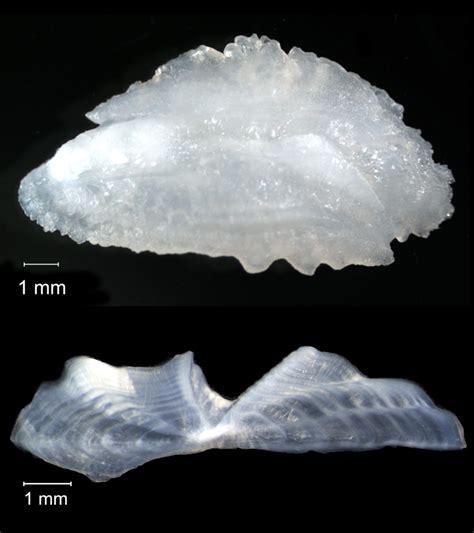 fish logs lifetime bone bones grouper ear ocean grows leaving inner behind every some these year