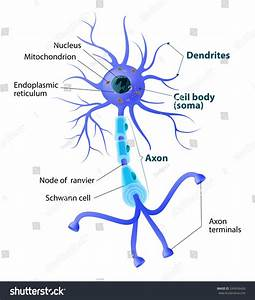 Anatomy Typical Human Neuron Structure Neuron Stock Vector