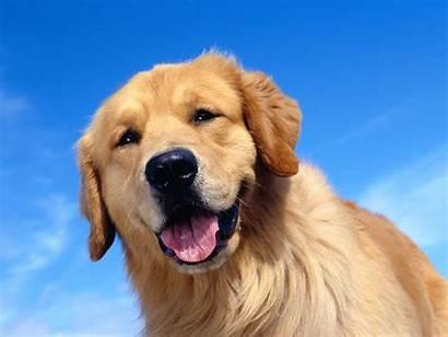 Dog Golden Retriever Desktop Background Wallpapers Backgrounds