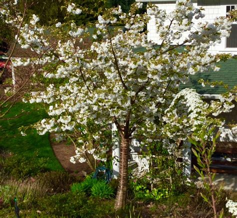 good trees  urban gardens choosing spring flowering
