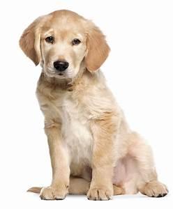 Mietwohnung Mit Hund : kek amsterdam wandtattoo hund 39 golden retriever 39 beige m ~ Lizthompson.info Haus und Dekorationen