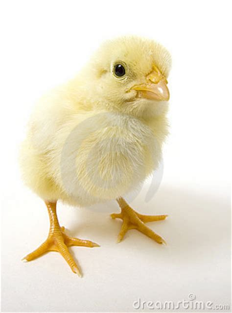baby chick  white background wide angle  royalty