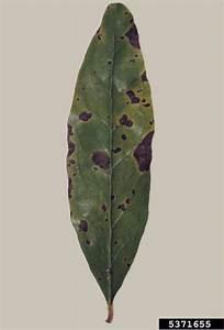 Cercospora Fungus  Cercospora Punicae   On Pomegranate