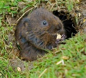Großes Loch Im Garten Welches Tier : file water vole wikimedia commons ~ Lizthompson.info Haus und Dekorationen