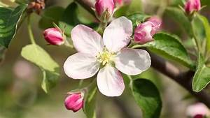White Apple Tree Flower Stock Footage Video  100  Royalty