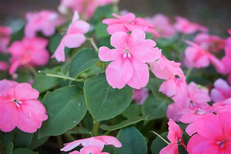 large bush with pink flowers top 10 shade plants for north houston kingwood garden center