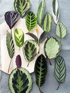 Calathea Blätter Rollen Sich Ein : calathea pflanzenfreude ~ Orissabook.com Haus und Dekorationen