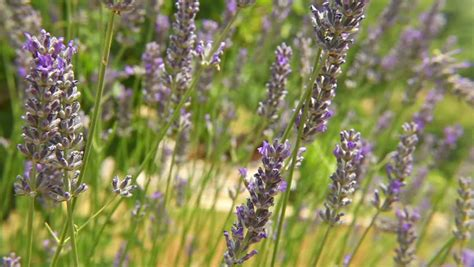 lavender for flies insect flies over lavender flower pollinating it from above stock footage video 10433231