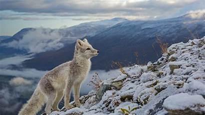 Bing Fox Winter Arctic Norway Animals Fur