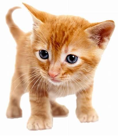 Gattino Ginger Trachsel Gatto Kitten Pet Cat