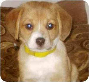 Buddy*ADOPTED!* | Adopted Puppy | Chicago, IL | Beagle ...
