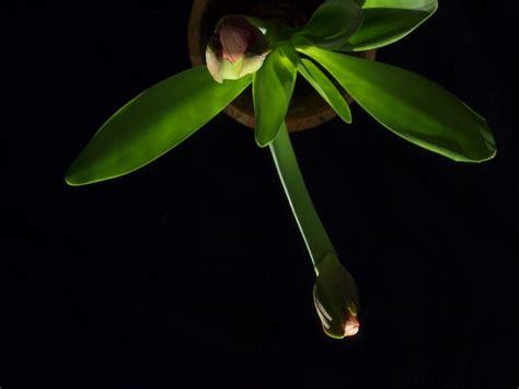 amaryllis blüht nicht amaryllis bl 252 ht nicht mehr 187 was tun ritterstern