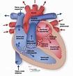 IMG. 1.3 Cámaras o Cavidades Cardiacas - Cardio Science