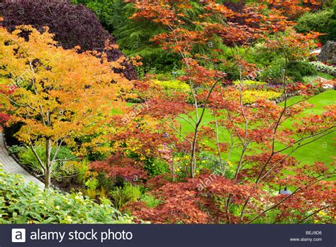 japanese maple fall japanese maple trees fall color sunken garden butchart gardens stock photo royalty free