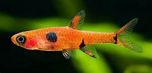 86 best images about Barbs Danios & Rasboras on Pinterest