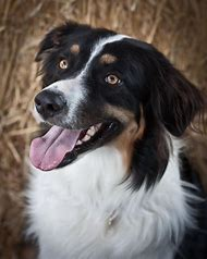Australian Shepherd Border Collie Mix Puppies