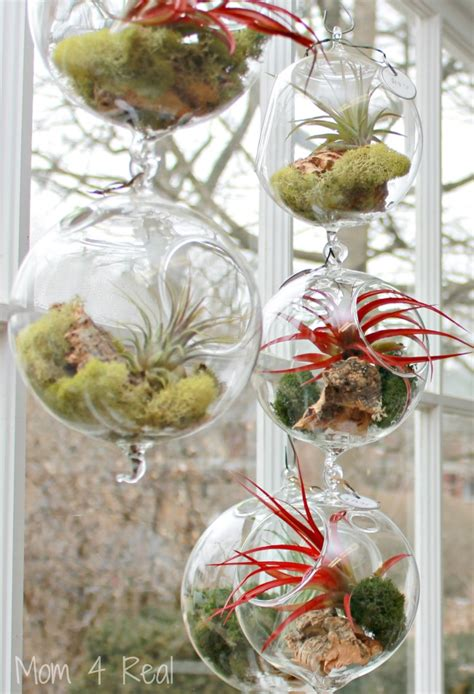 air growing plants how to grow and care for air plants tillandsia mom 4 real
