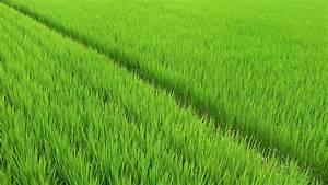Rice field | Photos HD