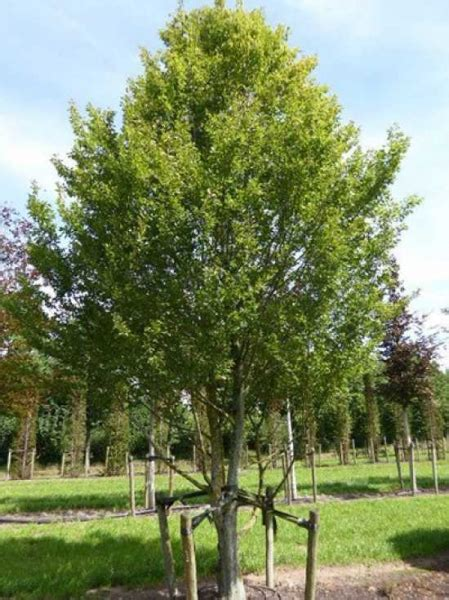 hainbuche carpinus betulus carpinus betulus hainbuche wei 223 buche mehrst 228 mmig