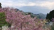 恩愛農場粉紅櫻盛開 阿里山櫻花季森呼吸 | 中華日報|中華新聞雲