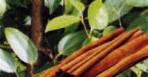 khasiat kayu manis  daun kayu manis wedang uwuh