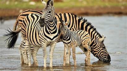 Zebra Drinking Water Zebras Animal Mammals Poster