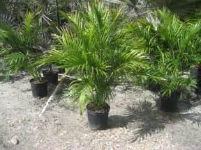 cat palm cat palm get domain pictures getdomainvids