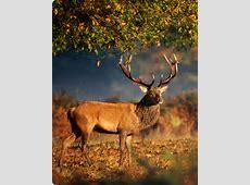 Der Rothirsch König der Wälder Europas Jagdreisenat