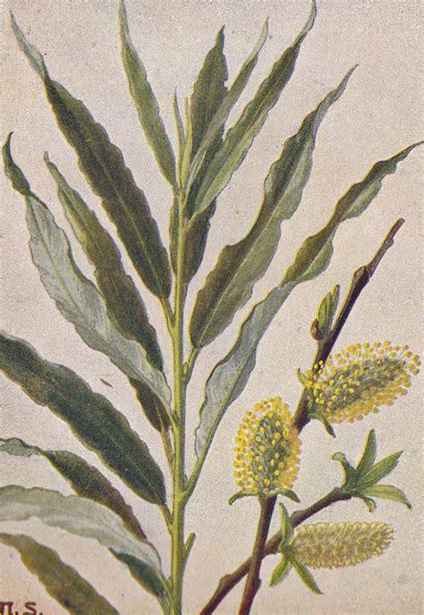 korbweide salix viminalis bildquelle  klein