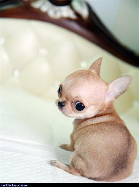 baby chihuahua iscute com