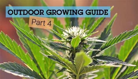 les bases de la culture de cannabis en ext 233 rieur partie 4 rqs