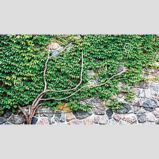 Growing Up The Art Of Climbing Plants  The Guardian