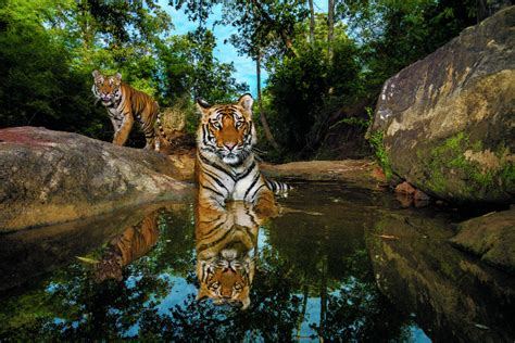 tigers   nature photography inspire conservation