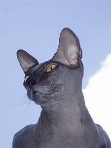 donskoy or don sphynx information health pictures