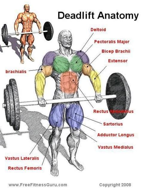 deadlift muscles exercises worked muscle human exercise body deadlifts anatomy diagram speaks brian simple super deadlifting during benefits lifting major