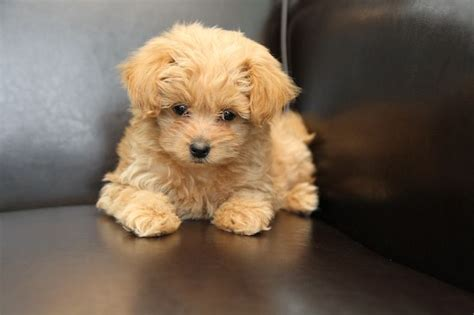 Tiny Non Shedding Dog Breeds by Our New Pomapoo Puppy Named Braidy Cute Girls Hairstyles