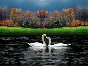 Swan HD Wallpapers