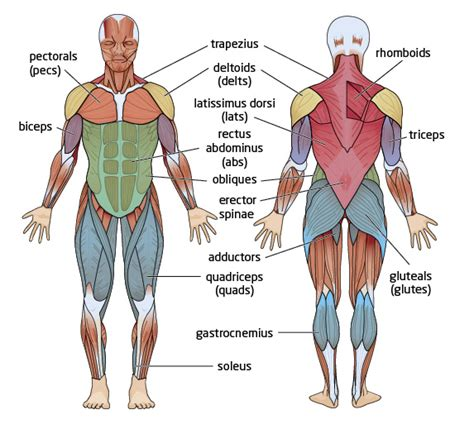 If you know the logic of how a muscle name was sometimes the locations of muscles's origins or insertions are incorporated into their names. Muscle Diagram