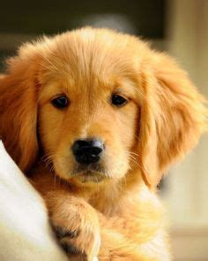 1000 images about cute photos for the golden retriever