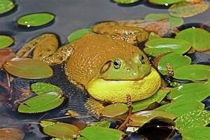 Croaking Bullfrog by David Freuthal