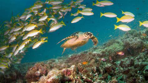 maldives sea turtle  fish   coral reef photo hd