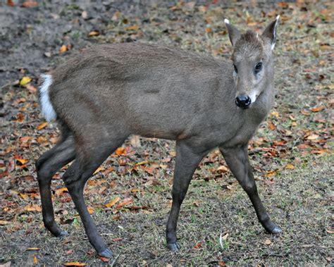 tufted deer facts diet habitat pictures  animaliabio