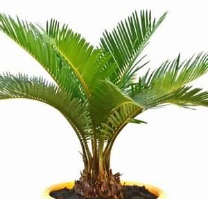 Bilder Von Palmen : zimmerpalmen bilder welche sind die typischen palmen arten ~ Frokenaadalensverden.com Haus und Dekorationen