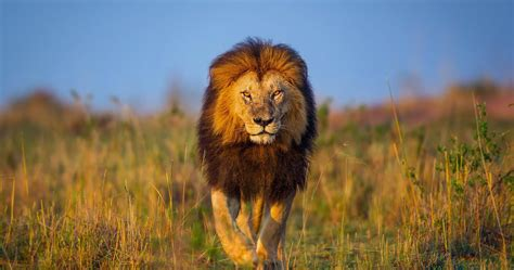 lion africa kenya  ultra hd wallpaper high quality walls