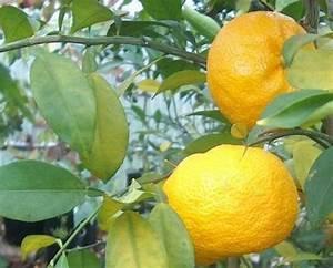 Prix D Un Citronnier : yuzu citronnier du japon les papedas combava yuzu ~ Premium-room.com Idées de Décoration